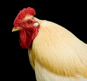 Portrait of chicken hen Stock Images