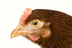 Portrait chicken isolated on a white background Stock Image