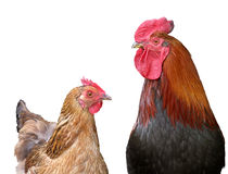 Portrait of a chicken and rooster, isolated Royalty Free Stock Images