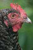 Portrait of Chicken Royalty Free Stock Photography