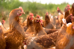 Portrait of chicken in a typical free range poultry organic farm Stock Image