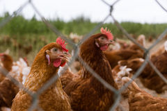Portrait of chicken in a typical free range poultry organic farm Stock Images