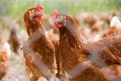 Portrait of chicken in a typical free range poultry organic farm Stock Photo