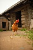 Portrait of a chicken walking in backyard Stock Photos