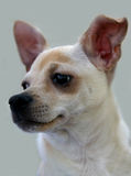 Portrait of a Chihuahua. Our new baby, Tucker Royalty Free Stock Photos