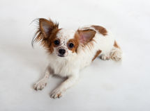 Portrait of the Chihuahua Royalty Free Stock Images