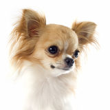 Portrait of chihuahua Royalty Free Stock Image