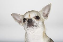 Portrait Of Chihuahua Stock Photography