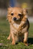 Portrait of Chihuahua dog Royalty Free Stock Photography