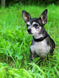 Portrait of chihuahua dog. Sitting in the summer garden Royalty Free Stock Images