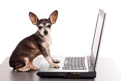 Portrait of a chihuahua dog in front of a laptop. On white background royalty free stock photos