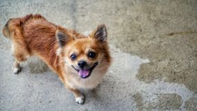 Portrait of chihuahua dog royalty free stock photos