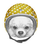 Portrait of Chihuahua with Helmet. Stock Image