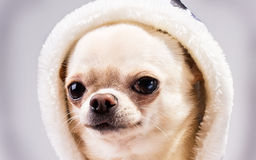 Portrait of chihuahua in hood Royalty Free Stock Photos