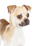 Portrait of a Chihuahua mixed breed dog looking off to the side Stock Photo