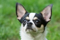 Portrait of Chihuahua Royalty Free Stock Photos