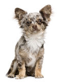 Portrait of Chihuahua puppy, 8 months old, sitting Stock Images