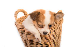 Portrait of chihuahua puppy in basket Stock Images