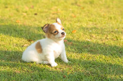 Portrait of chihuahua puppy Royalty Free Stock Photo