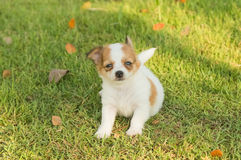 Portrait of chihuahua puppy Royalty Free Stock Photos