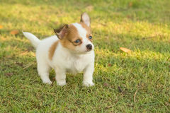 Portrait of chihuahua puppy Stock Image