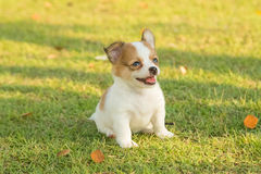 Portrait of chihuahua puppy Stock Photos