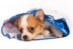 Portrait of chihuahua puppy Stock Images