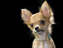 Portrait of Chihuahua puppy with  necklace Royalty Free Stock Image