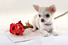 Portrait of Chihuahua with Rose Royalty Free Stock Photography