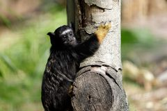 Portrait of of the child red-handed midas tamarin New World monkey royalty free stock image