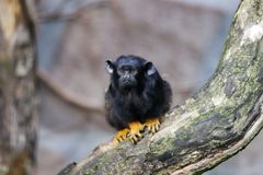 Portrait of of the child red-handed midas tamarin New World monkey stock photos