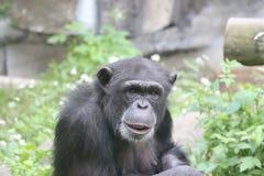 Portrait of chimp. Royalty Free Stock Image