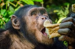 Portrait of chimp eating loaf of bread Royalty Free Stock Images