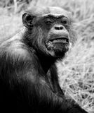 Portrait of chimpanzee Royalty Free Stock Images
