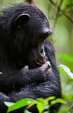 Portrait of a chimpanzee Stock Photography