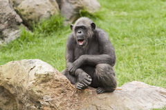 Portrait of a chimpanzee Royalty Free Stock Images