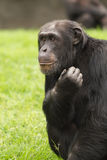 Portrait of a chimpanzee Stock Image
