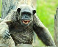 Chimpanzee. Portrait of the chimpanzee royalty free stock photos