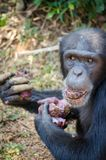 Portrait of chimpanzee eating sweet potatoes while sitting on ground in rain forest of Sierra Leone, Africa.  royalty free stock images