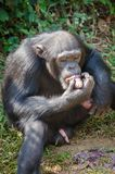 Portrait of chimpanzee eating sweet potatoes while sitting on ground in rain forest of Sierra Leone, Africa.  stock photo