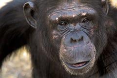 Portrait of a chimpanzee stock images
