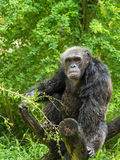 Portrait of chimpanzee. One adult chimpanzee eating on tree trunk stock photography