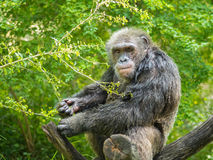 Portrait of chimpanzee. One adult chimpanzee eating on tree trunk royalty free stock photos