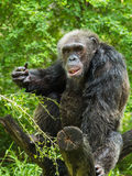 Portrait of chimpanzee. One adult chimpanzee eating on tree trunk stock images