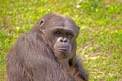 Portrait of Chimpanzee Stock Photos