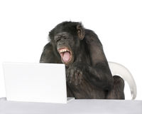 Portrait of Chimpanzee playing with a laptop Stock Images