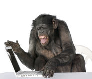 Portrait of Chimpanzee playing with a laptop Stock Photo