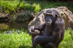 Portrait of a chimpanzee. Sitting on the grass Stock Image