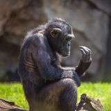 Portrait of a chimpanzee. Sitting on the grass Royalty Free Stock Photo