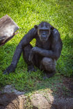 Portrait of a chimpanzee. In the zoo Stock Photography